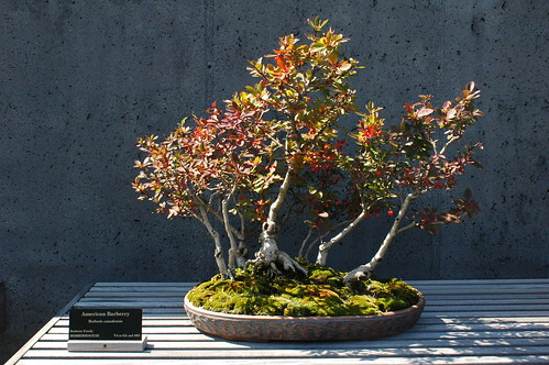Berberis canadensis, American barberry, Bonsai