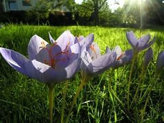 Evening light (multiflora) Tags: autumn light flower garden wonder krokus outstandingshots