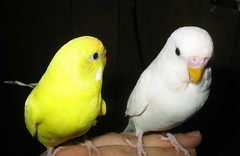 A white and a yellow parakeet in conversation, perched on an outstretched hand.