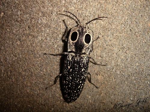 "Eyed Click Beetle  ""Alaus oculatus"""