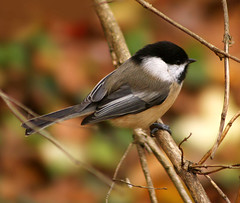Black-Capped Chickadee (nature55) Tags: autumn bird germantown nature outdoors bravo wildlife aves blackcappedchickadee specanimal abigfave bestnaturetnc06