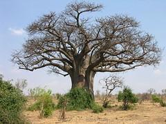 Chobe Baobab (Makgobokgobo) Tags: africa botswana chobe baobab cnp chobenationalpark adansonia i500 adansoniadigitata
