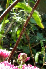 Pink chrysanthemum with spider