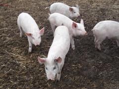 Field trip to Sara and Joe Delong's Organic Hog Farm near St. John WA.