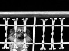 Encarcelado (fertraban) Tags: dog fotosencadenadas tag3 taggedout ventana reja tag2 tag1 perro rejas verja p1f1 encarcelado ltytr1