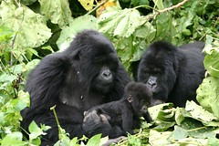 Gorillas with baby in Rwanda at the Volc by Derek Keats, on Flickr