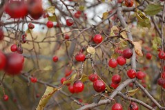 Last of the Crab Apples (Jonathan Lurie) Tags: chicago apple d50 nikon northwestern evanston