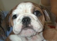 Bulldog Puppy (Scott Kinmartin) Tags: dog puppy bulldog bullpuppies
