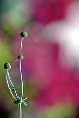 (akiruna-nature) Tags: flowers red white flower macro green garden ilovenature dof bokeh 2550fav anemonehupehensis akiruna annemiehiele akirunanature