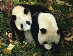 Mommy did you hear it's auntie Janet's birthday today..we might get cake (somesai) Tags: animal animals smithsonian panda endangered pandas