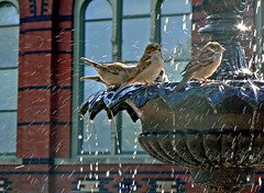 Bird Bathing (Lynn Fagerlie) Tags: party water birds fun smithsonian dc birdbath joy lynn celebration sparrow laughter sparrows specanimal fagerlie animalkingdomelite abigfave aplusphoto