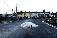 Galway (Phalinn Ooi) Tags: ireland galway birds swan malaysia raya kuih galwaybay nuig rivercorrib phalinn