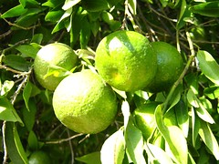 "unripe mandarins • <a style=""font-size:0.8em;"" href=""http://www.flickr.com/photos/70272381@N00/299106130/"" target=""_blank"">View on Flickr</a>"