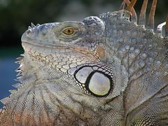 Lizard 04 (rkohn12) Tags: face closeup campus outside grey eyes nikon florida head reptile lizard sidewalk iguana coolpix stare spikes chin fau s4