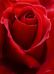 Rosa roja (crop) (Dani3D) Tags: winter red flower macro rose canon catchycolors redrose rosa fresh botanico botanic 60mm botanicgarden redflower roja jardnbotnico abigfave colorphotoaward superbmasterpiece