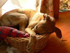 Sleep tight (Marianne Perdomo) Tags: sleeping dog greyhound basket explore spanish elisa galgo 612monthsold safe200