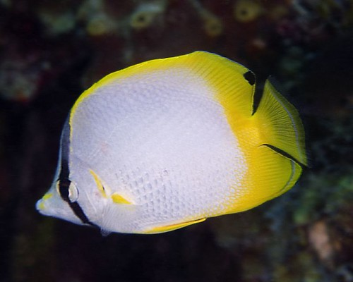 Spotfin Butterflyfish [CCV 2006, 106-15]