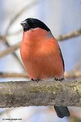 bullfinch (hegtor) Tags: male bird nature forest shoot branch wildlife formal grand twig bullfinch pyrrhulapyrrhula haughty important eurasianbullfinch pretentious sprig pompous bombastic grandiose naturesfinest featheryfriday specanimal abigfave consequential highflown impressedbeauty