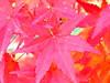 (girl_with_bear) Tags: autumn japan redleaves ilovethistree matsusato
