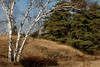 Birch, Grass and White Pines II
