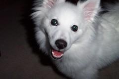 Poser (ImagesAndObjects) Tags: rufus mydog miniatureamericaneskimo