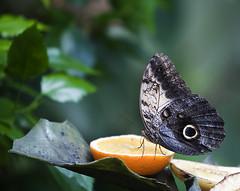 Butterfly (LaStef) Tags: butterfly copenhagen zoo kbenhavn kiss2 zoologiskhave kiss3 kiss1 kiss4 kiss5