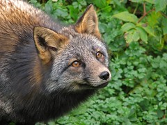 Red Fox (dacardoso) Tags: canada animal newfoundland fox redfox vulpesvulpes specnature specanimal get7favouritesworks