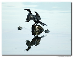 Cormorant dances for me!