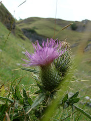 Thistle (mattrkeyworth) Tags: thistle sony edale castleton p12 dscp12 mattrkeyworth