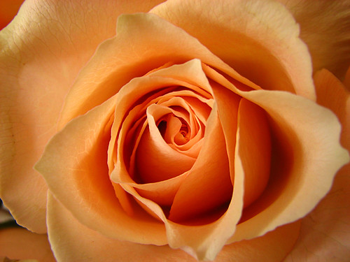 What Is Your Favorite Color Rose   Read Meanings Of Rose Colors Below   Thanks
