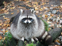 Hi! (mion.nl) Tags: animal racoon naturesfinest wasbeer supershot copyrightmionnl mionnl