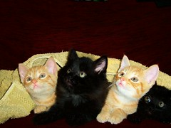 2 black...2 ginger (Nicolas Valentin) Tags: favorite black cute beautiful cat four ginger chat 4 best explore mad impressedbeauty
