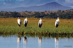 Los cuatro Tenores... (Xicu) Tags: africa kenya aves safari pajaros monte kenia naivasha salvaje specanimal animalkingdomelite