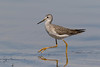 Lesser Yellowlegs (Gary McHale) Tags: lesser yellowlegs myakka river state park florida wading h ngc npc