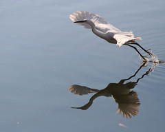 Reaching Out (jcowboy) Tags: white reflection bird heron natu