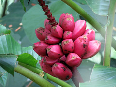 Pink Banana (treegrow) Tags: lifeonearth nature canonpowershotsx40hs plant angiosperms musaceae musavelutina taxonomy:binomial=musavelutina