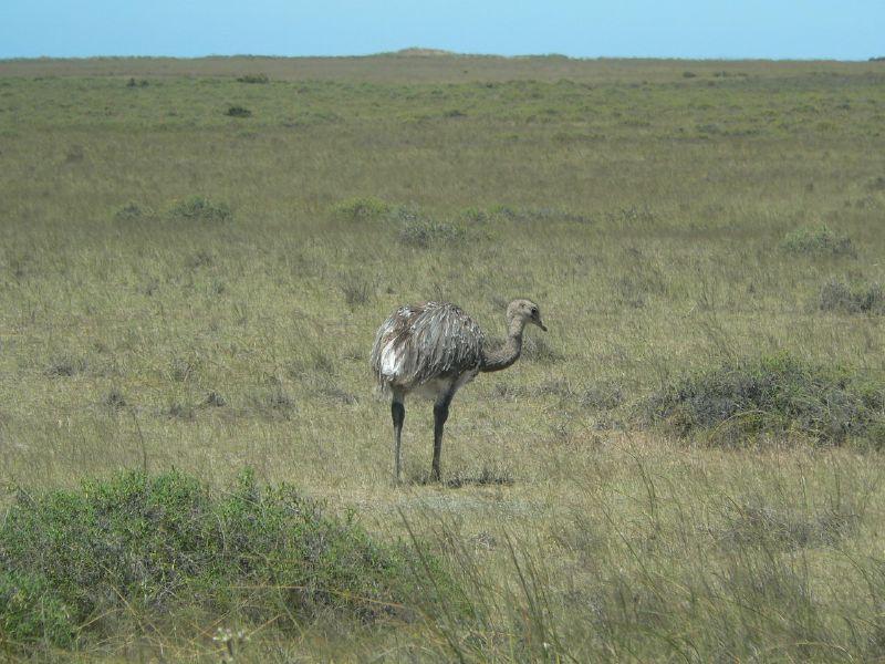 Fauna Argentina: Ñandú. Imagenes,video e info.