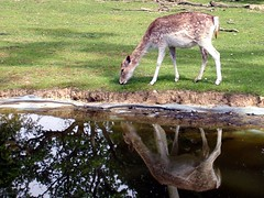 Reflection @ Thoiry (France) (Jean-christophe 94) Tags: reflection animal ilovenature olympus planet camedia aplusphoto jc94 jeanchristophe94
