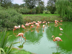 Flamingos (sjnewton) Tags: pink green 2004 nature water birds zoo sony chilterns july flamingos animalplanet whipsnade dscp12