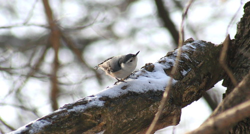 white-breasted nuthatch snow 02