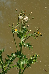 527638931 Groundsel 2007-06-02_10:52:17 Oxford_Canal