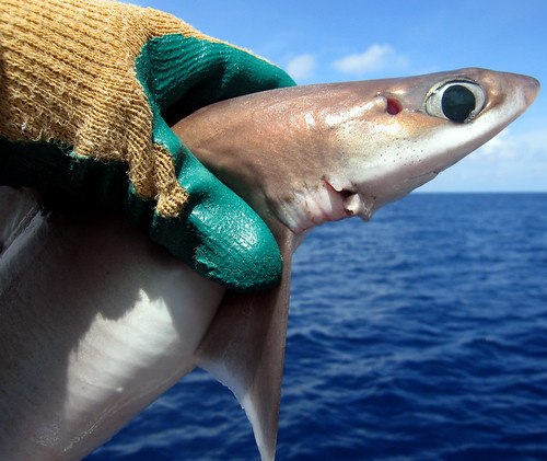 Cuban Dogfish Close Up