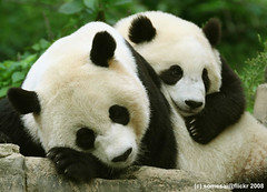 I love my mommy (somesai) Tags: animal animals smithsonian panda endangered pandas potofgold taishan dczoo butterstick pandasunlimited abigfave colorphotoaward