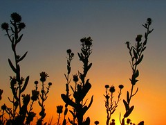 weeds in the sky keep on grow'n... (pbo31) Tags: sanfrancisco california above park ca city flowers light sky urban sun black flower color fall nature up silhouette northerncalifornia yellow gardens catchycolors garden dark season landscape ilovenature photo flora noir different seasons natural bright earth grow citylife favorites 2006 september odd growth sanfranciscobayarea bayarea bloom change flowering growing left penninsula californian upwards blooming baycity metroplex sanfranciscocounty metroarea sanfranciscan