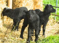 Three autumn lambs and one lamb's tongue (Hindolbittern) Tags: uk autumn england tongue tag3 taggedout tag2 tag1 sheep norfolk olympus september lamb lambs jacobs breed rare evolt e500 hebridean happyfirstflickranniversarytomehappyfirstflickr
