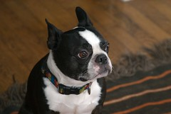 RAW Dogs 3  1834.png (blogjam_dot_org) Tags: dog bostonterrier houston montrose hawthorne peabo misterpeabody 77098