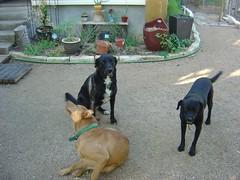 dogs austin garden cherrywood