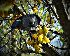 Tui Tina Turner (Catching Magic) Tags: newzealand flower nature blossom olympus e300 tiraudan tui kowhai parsonbird