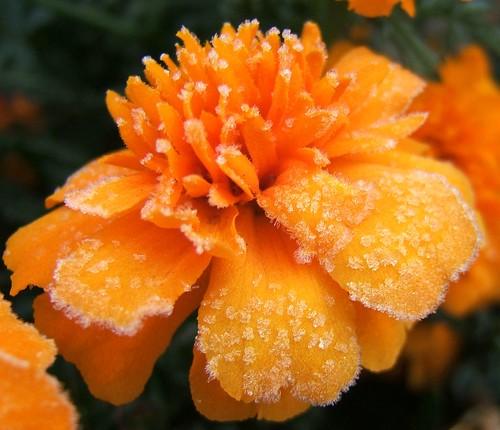 Marigold Plant Information | Garden Guides