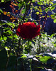 Red Rose in Sun